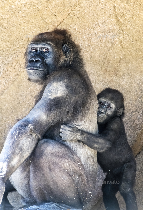 Authoritative Mother Gorilla and offspring - Stock Photo - Images