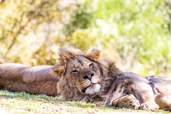 Lion resting with partner - Stock Photo - Images