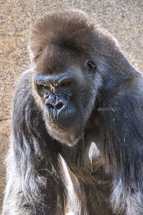 Authoritative Silverback Gorilla - Stock Photo - Images