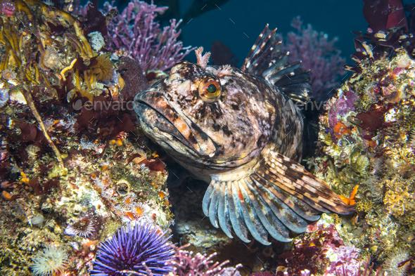 Cabezon fish on California reef - Stock Photo - Images