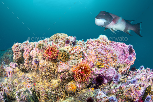 Rose Anemone and Sheephead on California Reef - Stock Photo - Images