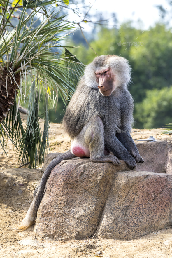 Baboon Sitting on Rock - Stock Photo - Images