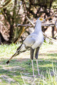 Big Secretary bird - PhotoDune Item for Sale
