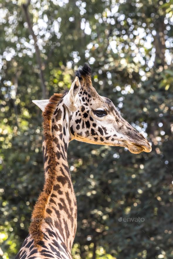 Giraffe peering at camera - Stock Photo - Images