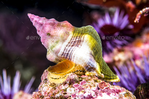 Whelk snail underwater - Stock Photo - Images