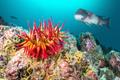 Rose Anemone and Sheephead on California Reef - PhotoDune Item for Sale