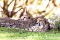 Cheetah resting in grass - PhotoDune Item for Sale