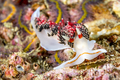 Red nudibranch snail underwater - PhotoDune Item for Sale