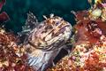 Cabezon fish on California reef - PhotoDune Item for Sale