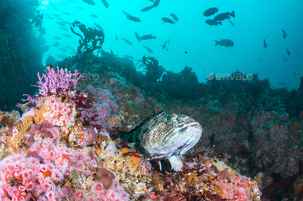 Strawberry Anemones and Lingcod on California Reef - Stock Photo - Images
