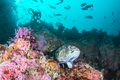 Strawberry Anemones and Lingcod on California Reef - PhotoDune Item for Sale