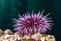 Purple sea urchin - PhotoDune Item for Sale