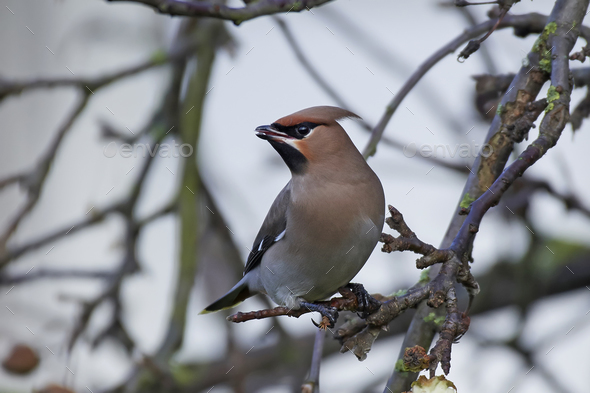 Bohemian waxwing (Bombycilla garrulus) - Stock Photo - Images