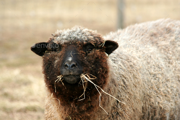 Sheep grazing in a field - Stock Photo - Images