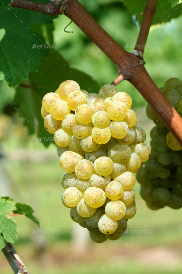 Green chardonnay grapes - Stock Photo - Images