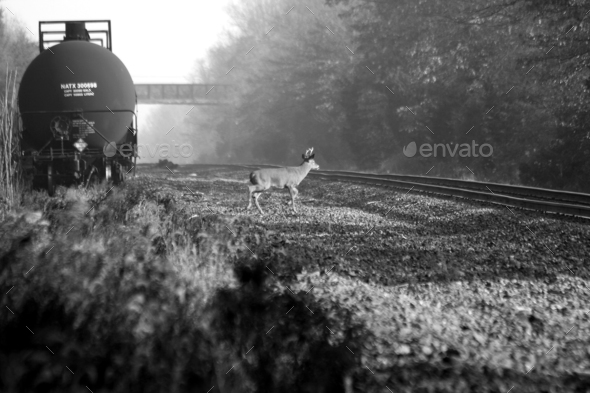 Deer and train - Stock Photo - Images