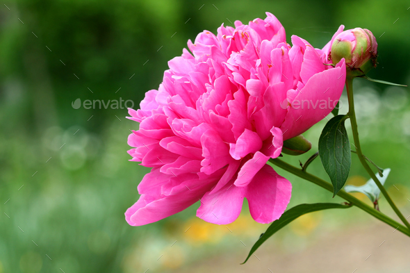 Pink peony flower - Stock Photo - Images