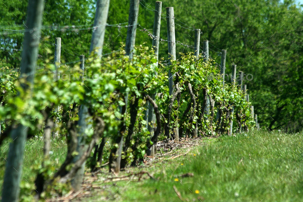 Grape vineyard in springtime - Stock Photo - Images