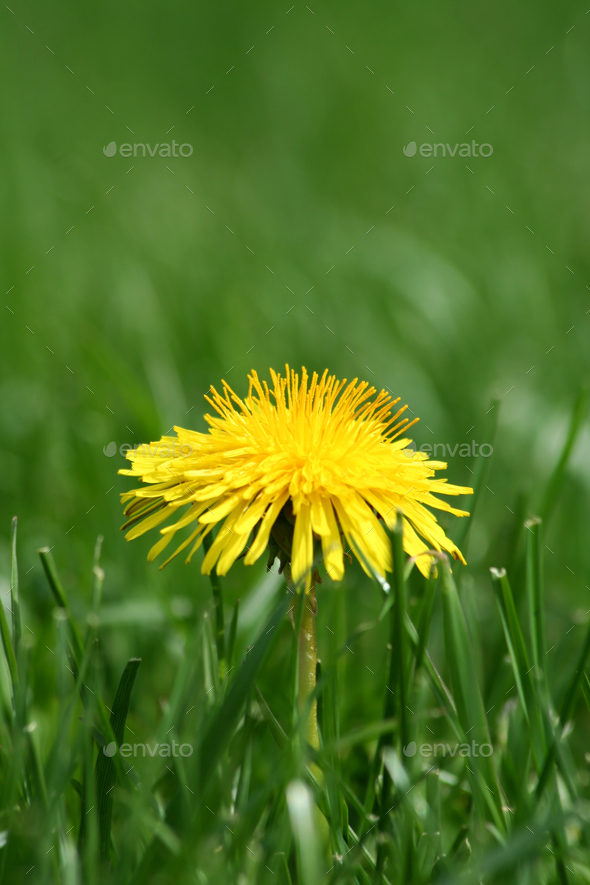 Yellow dandelion in grass - Stock Photo - Images