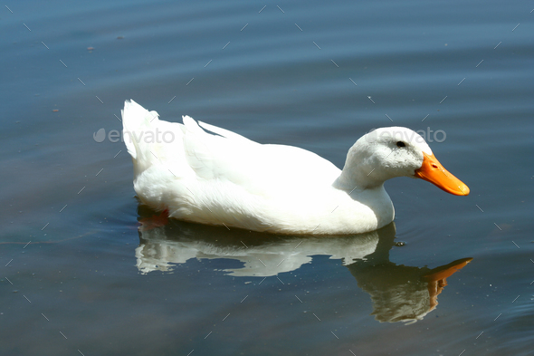 White domestic duck in a pond - Stock Photo - Images