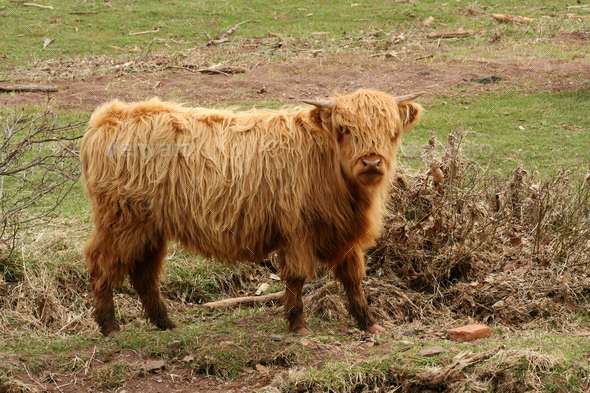 Highland cow in a field - Stock Photo - Images