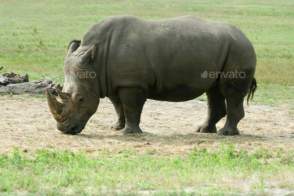 White Rhinoceros on the savannah - Stock Photo - Images
