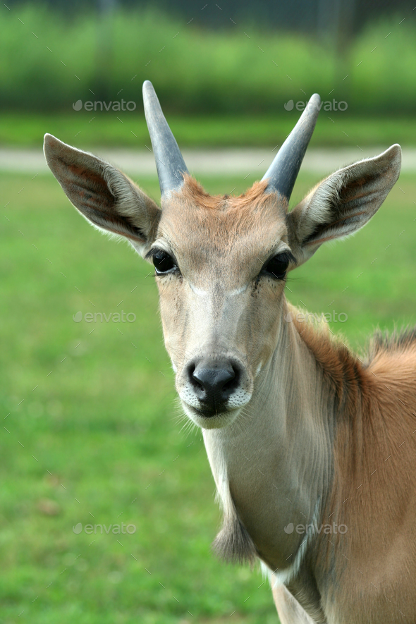 Close up of a curious Eland - Stock Photo - Images