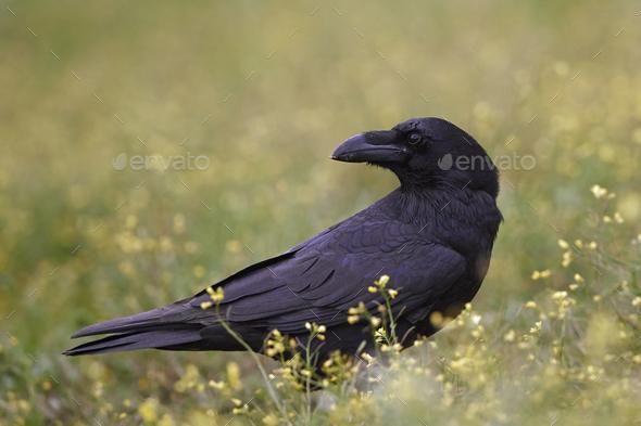 Common raven (Corvus corax) - Stock Photo - Images