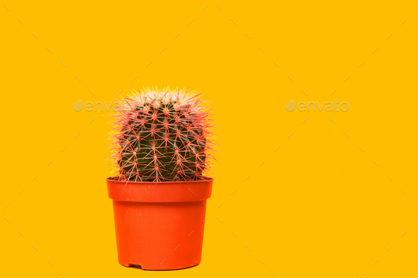 Pink Cactus. Art Gallery Fashion Design. Minimal Stillife. Concept on Yellow background - Stock Photo - Images