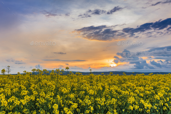 rape field at sunset - Stock Photo - Images