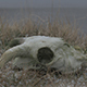 Ram Skull collecting snow Ungraded - VideoHive Item for Sale