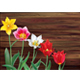 Tulips on Wooden Background - GraphicRiver Item for Sale