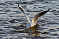 Diver - gull on the water - PhotoDune Item for Sale