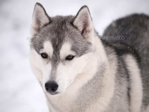 Husky dog outdoors - Stock Photo - Images