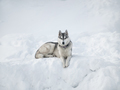 Beautiful Husky dog on the snow - PhotoDune Item for Sale