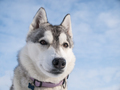 Portrait of a cute Husky dog - PhotoDune Item for Sale