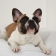 Portrait of a Dog of a French Bulldog at Home in a Light Interior - VideoHive Item for Sale
