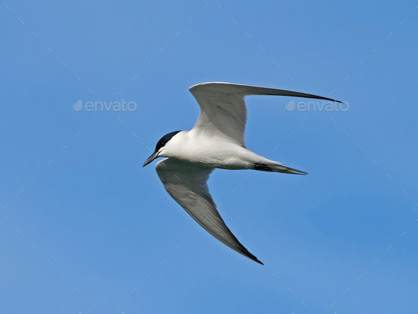 Gull-billed tern (Gelochelidon nilotica) - Stock Photo - Images