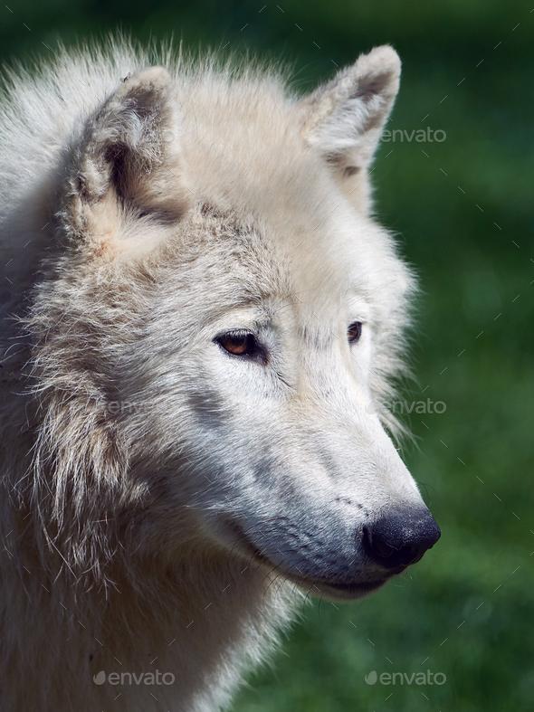 Arctic wolf (Canis lupus arctos) - Stock Photo - Images