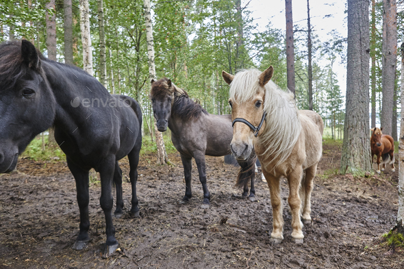 Horses in a Finland forest landscape. Animal background. Horizontal - Stock Photo - Images