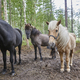 Horses in a Finland forest landscape. Animal background. Horizontal - PhotoDune Item for Sale
