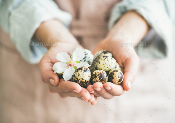 Quail eggs and almond blossom flower in hands of woman - Stock Photo - Images