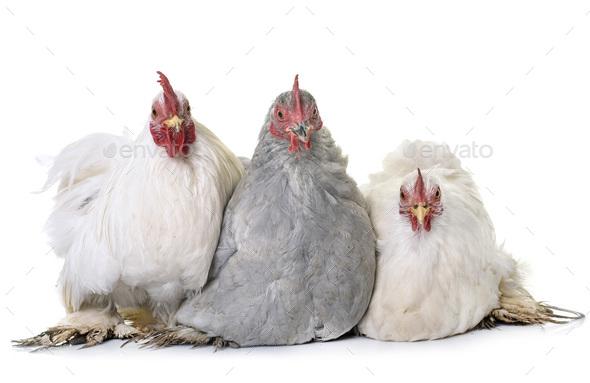 pekin chicken in studio - Stock Photo - Images