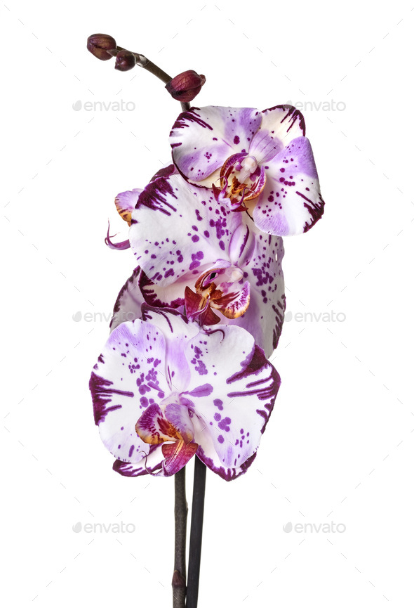orchid american akita - Stock Photo - Images