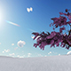 Single Pink Blooming Cherry Tree - VideoHive Item for Sale