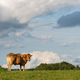 Aquitaine cow in a field - PhotoDune Item for Sale