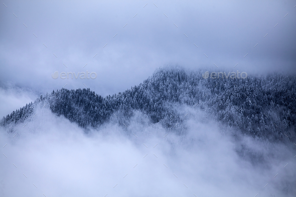 Snowy pine trees - Stock Photo - Images