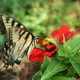 Eastern Tiger Swallowtail butterfly - PhotoDune Item for Sale