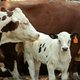 Cow and Calf - PhotoDune Item for Sale