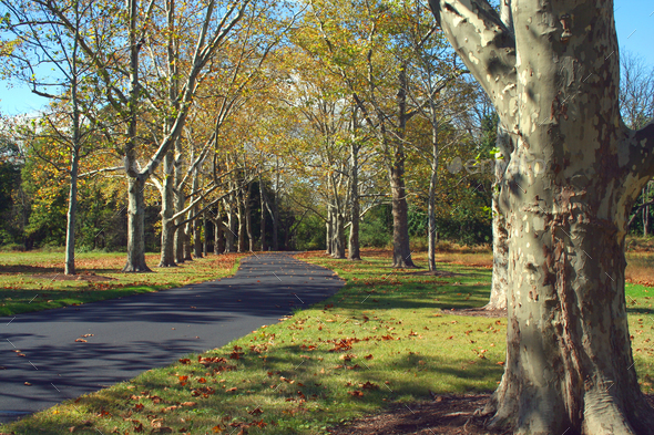 Path lined with Sycamore Trees - Stock Photo - Images